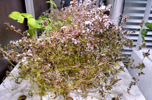 部屋でサマーセイボリー栽培