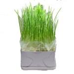 ネコ草の栽培方法 ネコ草の室内栽培