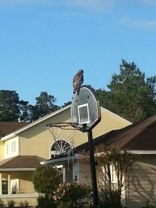 Compared to the backboard that bird is huge.