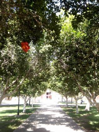 One of many walkways cover by trees. Someone lost a graduation balloon.