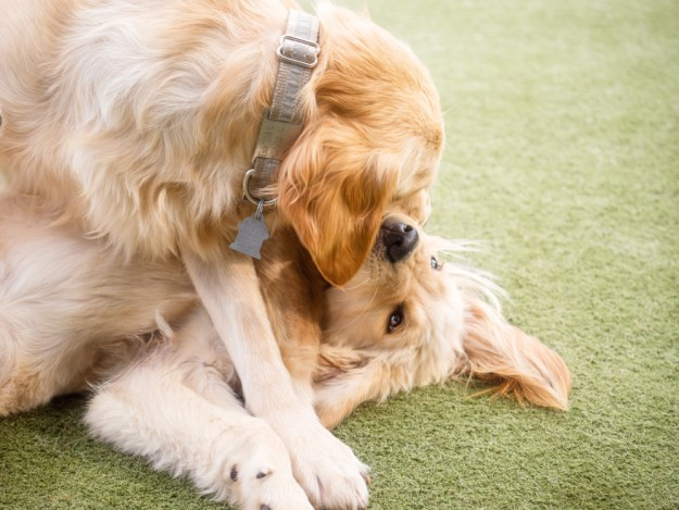 Model-in-residence Imi pinning Whitty the Golden Retriever puppy