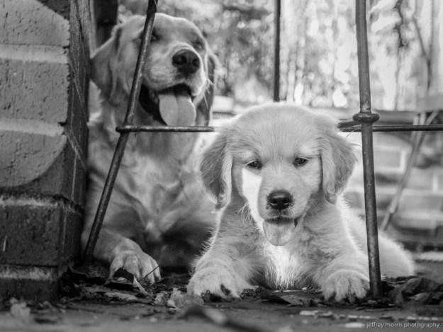 gold dog 5