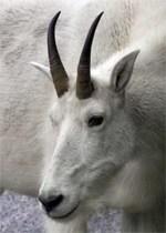 The Last Goat