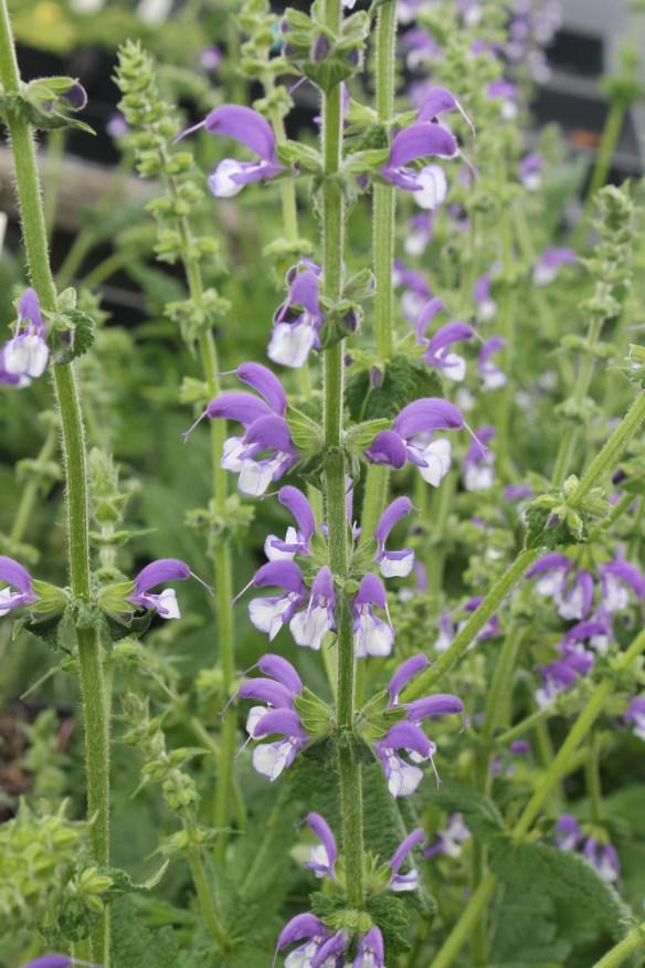 Salvia Madeline flowers2