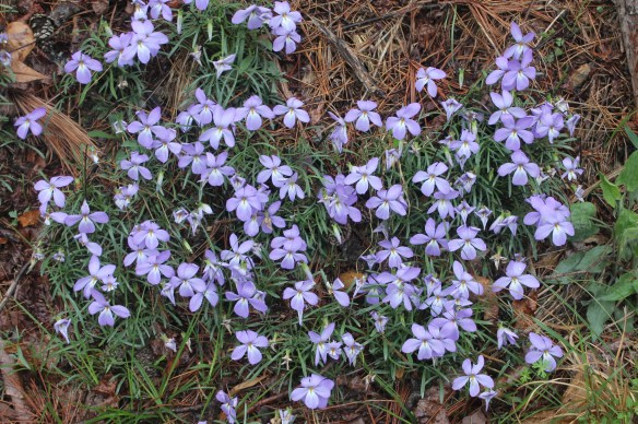 Viola pedata running clone at stop 1 AR