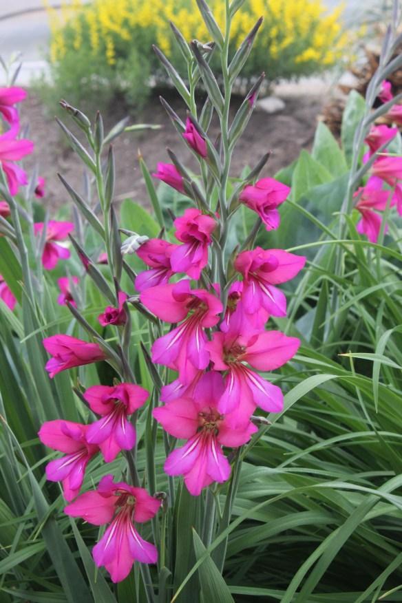 Gladiolus byzantinus Cruentus7