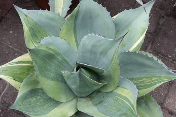 Agave ovatifolia Killer partial mutant
