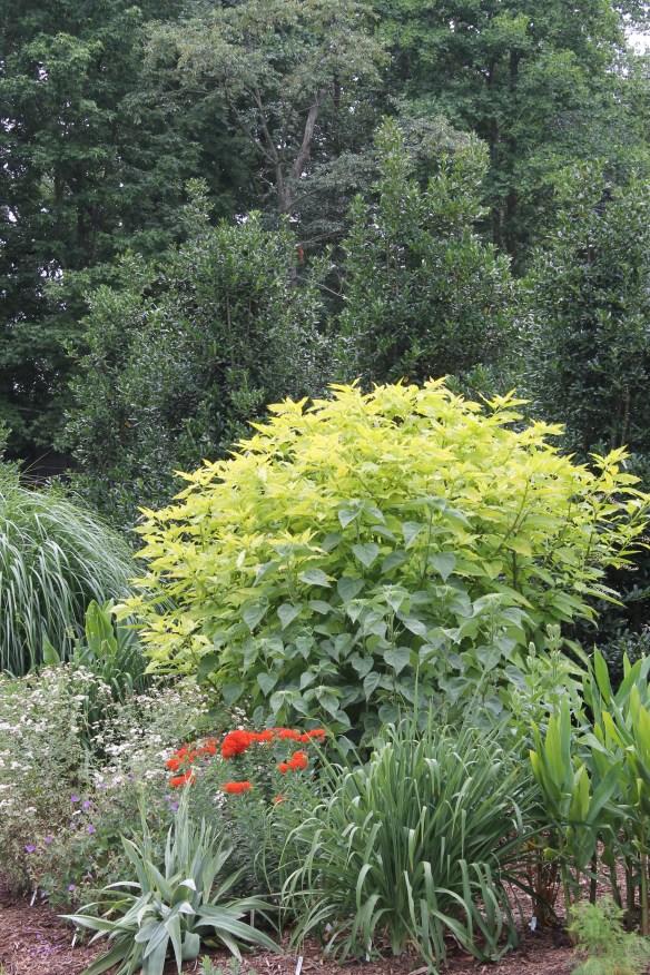 Phytolacca americana Sunny Side up combo