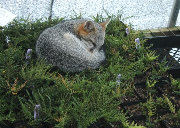 Fox sleeping in Dryopteris2