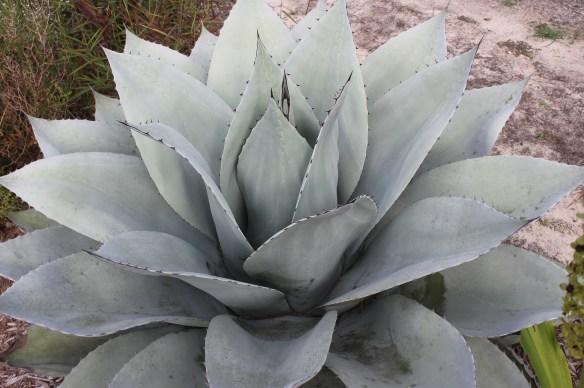 Agave ovatifolia Sierra Lampazos4