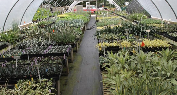 Greenhouse 11 agaves