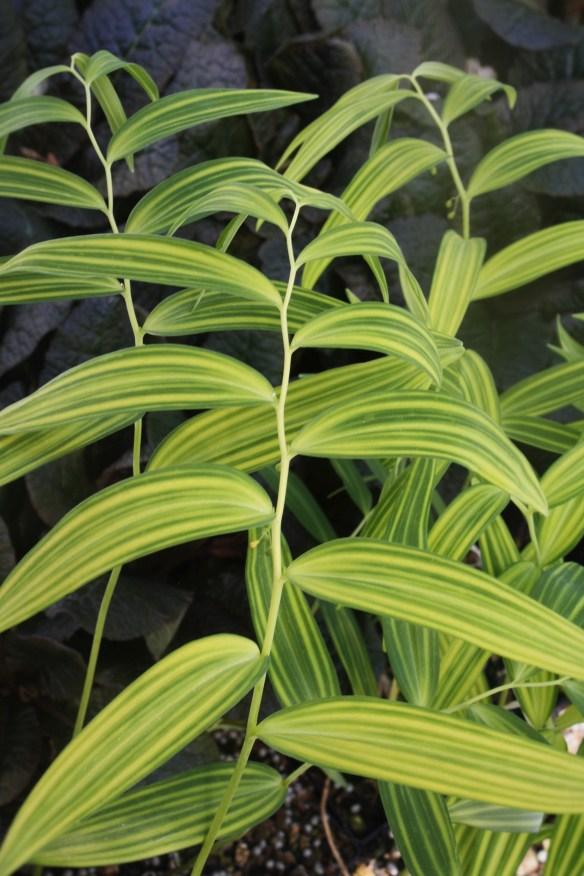 Polygonatum falcatum Tiger Stripes4 (63933).cc