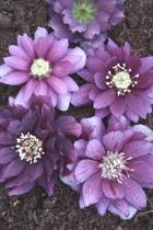 Helleborus PDN Violet