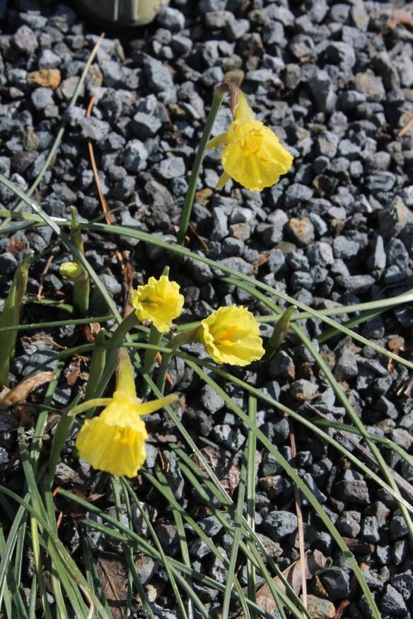 Narcissus romieuxii albidus zanicus