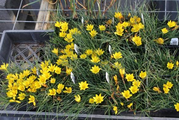 Nothoscordum sellowianum in flat