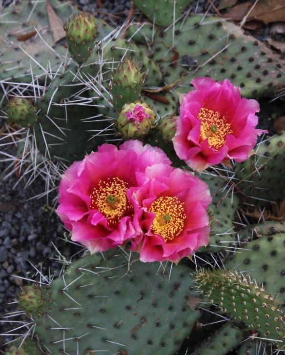 Opuntia sp. nov pink flowers