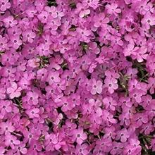 Phlox 'Pink Profusion'