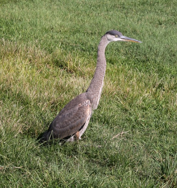 Blue heron at 9205 property