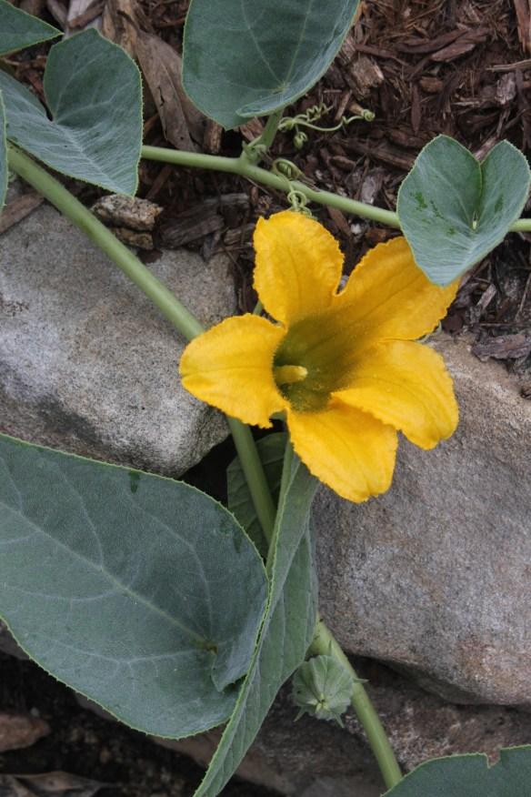 Cucurbita foetidissima in flower2