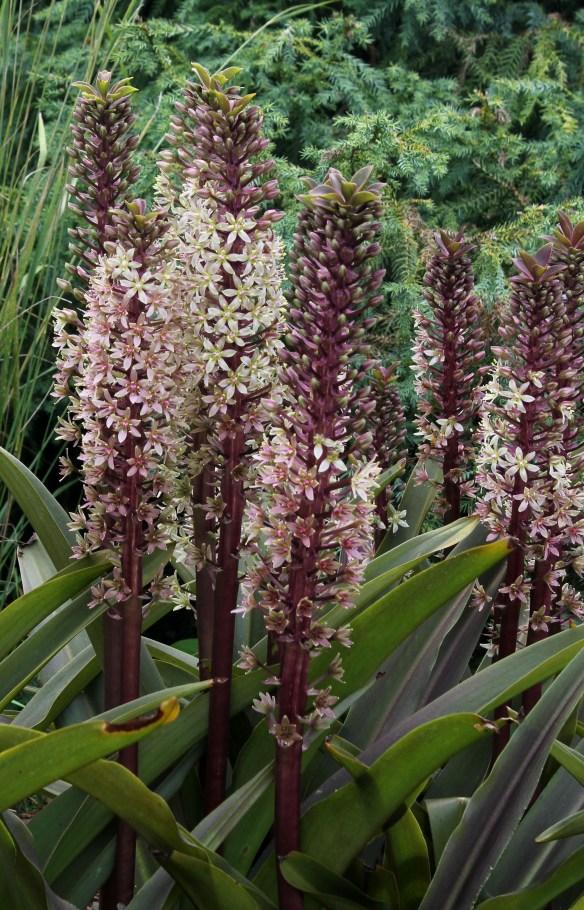 Eucomis comosa Sparkling Burgundy flowers4