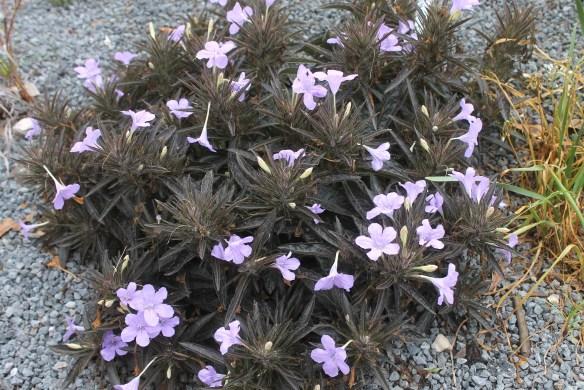 Ruellia Black Beauty clump in flower2