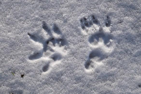 Possum print in ice