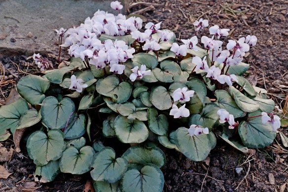 Cyclamen coum PDN009 in flower