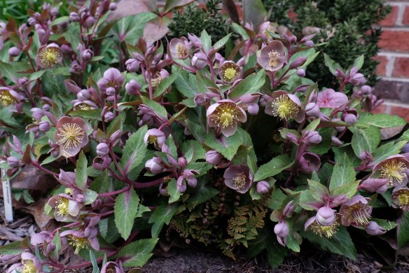 Helleborus lividus clump in flower