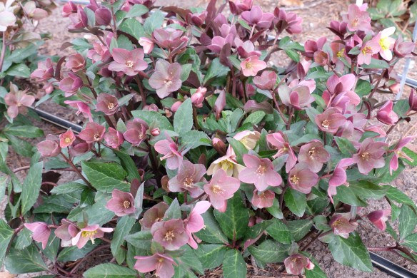 Helleborus x ballardiae Merlin clump in flower