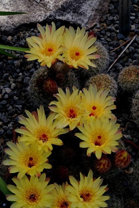 Notocactus apricus in flower