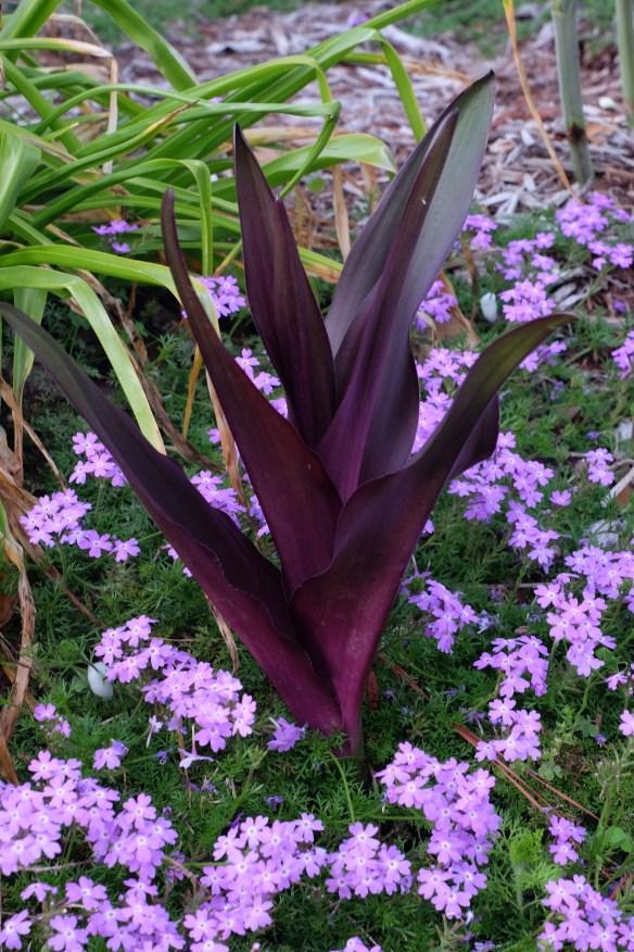 Eucomis Sparkling Burgundy combo with Verbena Lavender Frappe