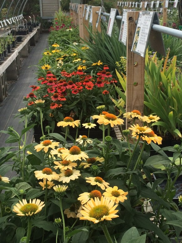 picture of Echinacea blooming in the Sales House