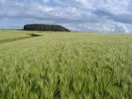 Nova supersafra vem aí, mas cadê o trigo?