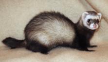 3618169512-ferret-furao-wikimedia