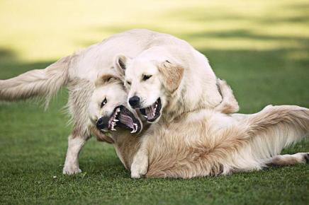 cachorros-brigando