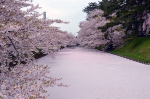 Visit Japan in Spring to enjoy cherry blossoms!