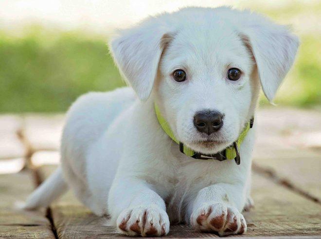 Yavru Köpek Maması Nasıl Olmalıdır