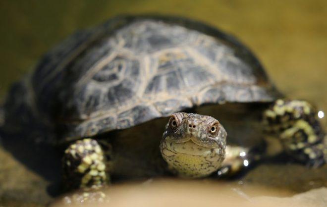 su kaplumbağasında renk değişikliği nedenleri