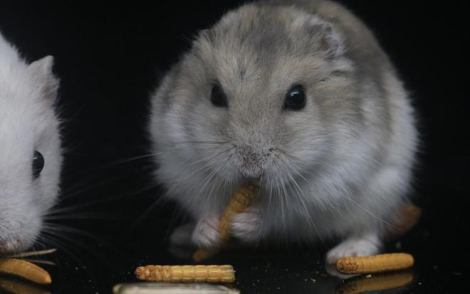 hamster kafesi nasıl olmalıdır