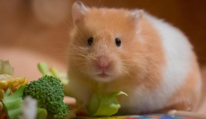 hamsterlar ne yer hangi yiyecekler zararlıdır