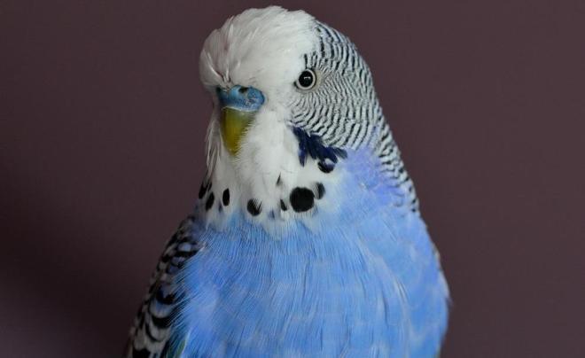 muhabbet kuşu hakkında bilmeniz gerekenler