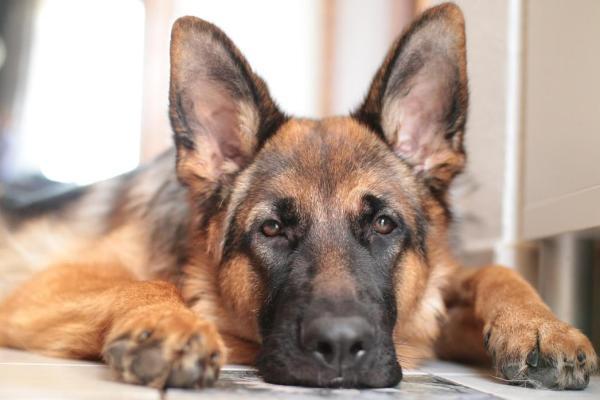Alman kurdu (Alman çoban köpeği) bakımı