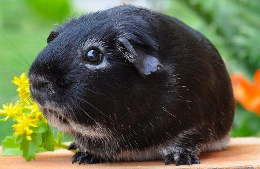 Kobay - siyah
