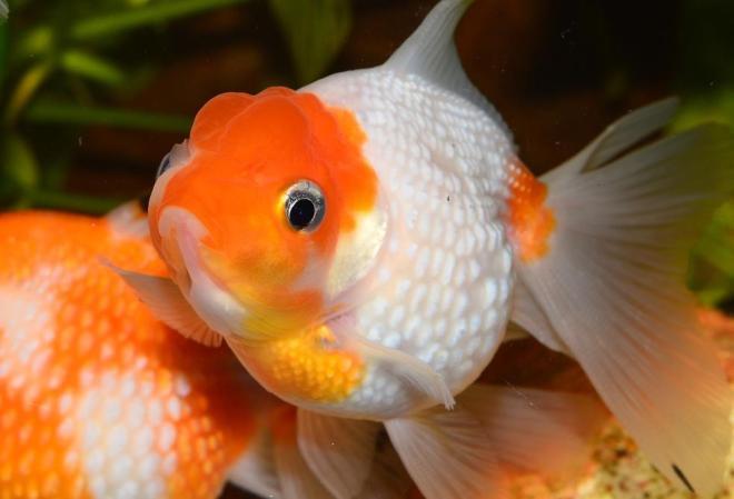 japon balığı yemi nasıl olmalıdır
