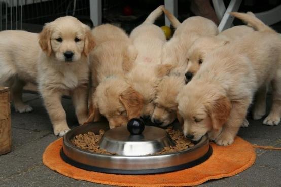 köpekler sadece kuru mamayla mı beslenmelidir