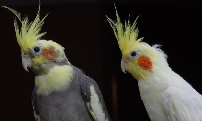 sultan papağanı hakkında merak edilenler