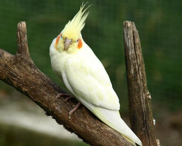 sultan papağanı konuşur mu