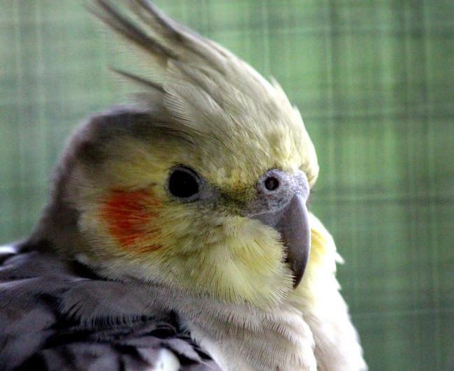 sultan papağanı bakımı