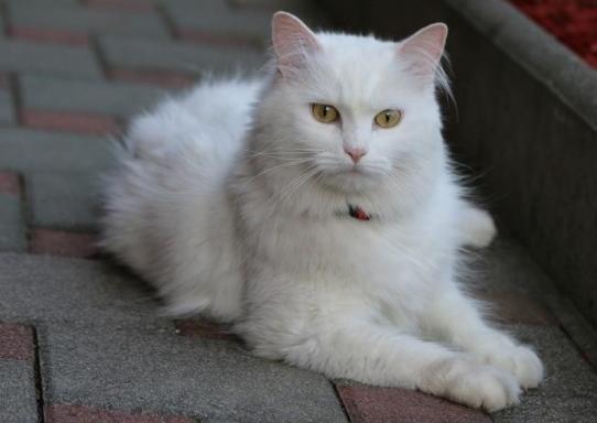 uzun tüylü kedi türleri