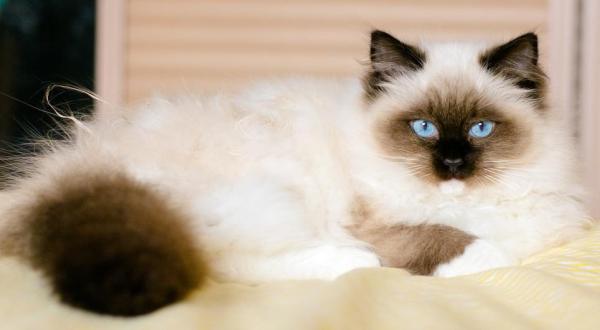 uzun tüylü kedi türleri - Ragdoll
